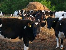 黑白母牛在农场 免版税库存照片