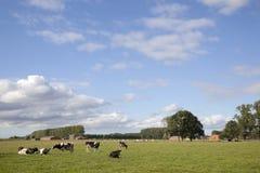 黑白母牛在跟特和布鲁日之间的富兰德草甸 免版税图库摄影