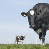 黑白母牛在绿色象草的草甸凝视在蓝天下 免版税库存照片