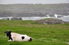 黑白母牛 库存图片