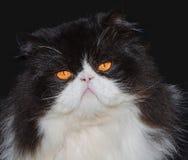 黑白波斯猫画象  图库摄影
