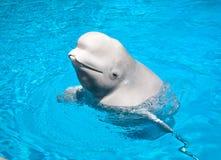 白海豚友好鲸鱼 免版税库存照片
