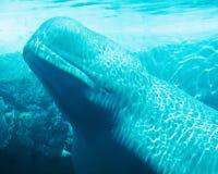白海豚水下的鲸鱼 免版税库存照片