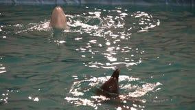 白海豚鲸鱼和旋转在水(舞蹈)中的宽吻海豚 影视素材