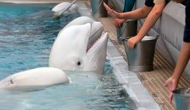 白海豚 免版税图库摄影