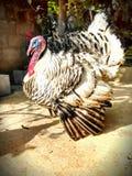 黑白火鸡 库存照片