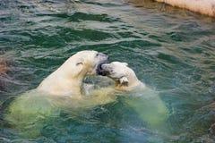 2白熊在水中 免版税库存照片