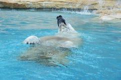 白熊在水中 库存图片