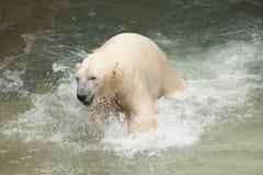白熊 库存图片
