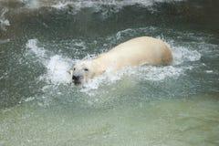 白熊 库存照片