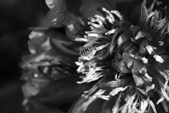 黑白牡丹花和飞行蜂 免版税库存照片