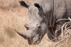 白犀属犀牛simum白色 库存图片