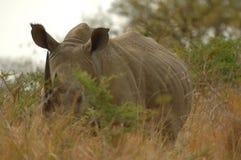 白犀属犀牛simum白色 图库摄影
