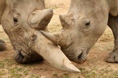 白犀牛争斗6 免版税库存照片