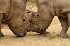 白犀牛争斗16 库存图片