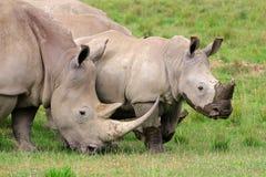 白犀牛哺养 免版税图库摄影