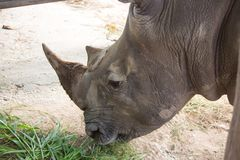 白犀牛在动物园,泰国里 免版税库存图片