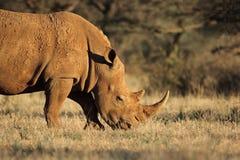 白犀牛在自然生态环境 免版税库存照片