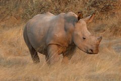白犀牛小牛在草原站立在日落 库存图片