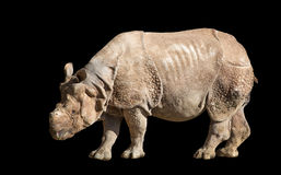 白犀牛或正方形有嘴犀牛(白犀属simum) 库存图片