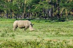 白犀牛或白犀属simum在大草原 免版税库存图片