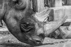 黑白犀牛犀牛头垫铁灰色的皮厚 库存照片