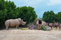 白犀牛白犀属simum Africam徒步旅行队,普埃布拉,墨西哥 图库摄影