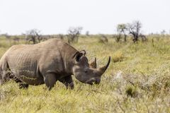 白犀牛,白犀属simum 免版税图库摄影