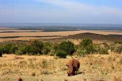 白犀牛 库存图片