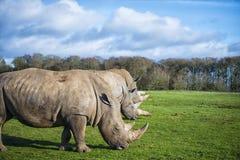 白犀牛 免版税图库摄影