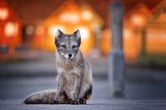 白狐光longyearbyen日落斯瓦尔巴特群岛 免版税库存照片
