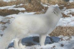 白狐冬天外形 免版税库存图片
