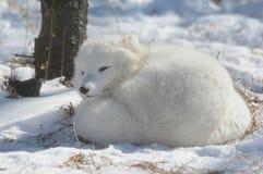 白狐冬天日光浴 库存照片