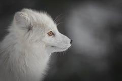 白狐在冬天 免版税库存照片