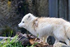 白狐在春天 免版税库存照片