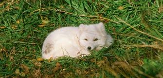 白狐在绿草床上  图库摄影