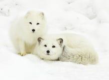 白狐对 库存图片