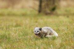 白狐狐狸雷鸟属雄伟地在零度以下的温度的生活适应 库存图片