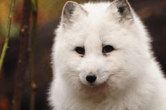 白狐白色 免版税库存照片