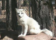 白狐的画象的关闭 免版税库存图片