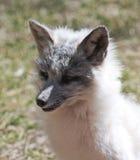白狐的画象的关闭 免版税库存照片