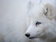 白狐纵向 免版税库存图片