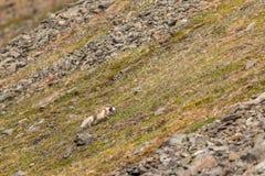 白狐跑与在它的嘴的小的海雀的,斯瓦尔巴特群岛 免版税库存图片