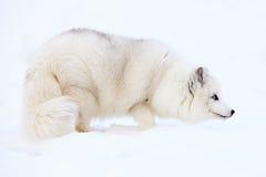 白狐雪 库存照片