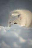 白狐雪 库存图片