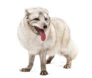 白狐,狐狸雷鸟属身分,气喘,隔绝在白色 免版税库存照片