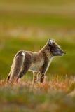 白狐,狐狸雷鸟属,两个年轻人,在自然栖所,放牧有花的草甸,斯瓦尔巴特群岛,挪威 库存照片