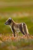 白狐,狐狸雷鸟属,两个年轻人,在自然栖所,放牧有花的草甸,斯瓦尔巴特群岛, 库存图片