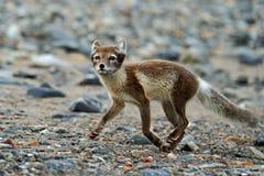 白狐,狐狸雷鸟属,在灰色Pebble海滩,行动场面的连续动物在自然栖所,斯瓦尔巴特群岛,挪威 库存图片