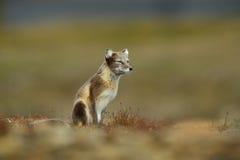 白狐,狐狸雷鸟属,在自然栖所,有花的草草甸,斯瓦尔巴特群岛,挪威 免版税库存图片